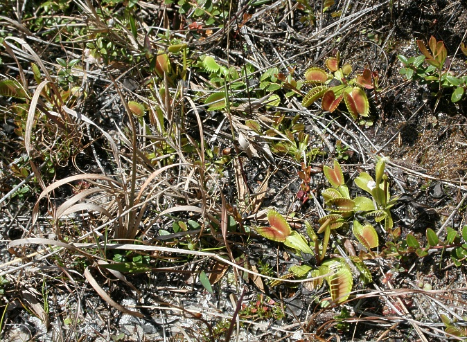 Dionaea im Holly Shelter Swamp