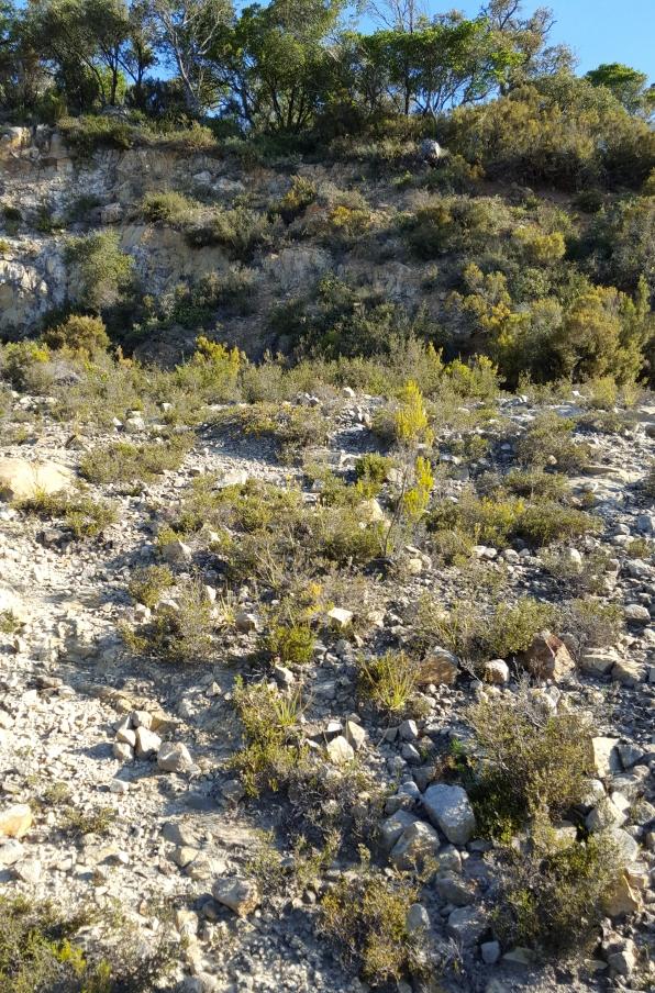 habitat Drosophyllum lusitanicum