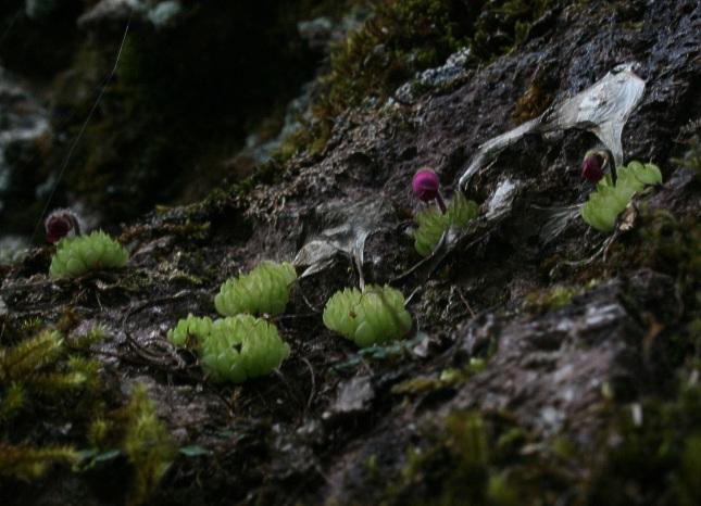 oliver gluchs homepage der fleischfressenden pflanzen pinguicula crassifolia. Black Bedroom Furniture Sets. Home Design Ideas